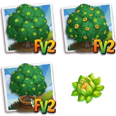 Valonia Oak Tree